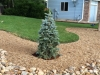 Baby Blue Eyes Colorado Spruce